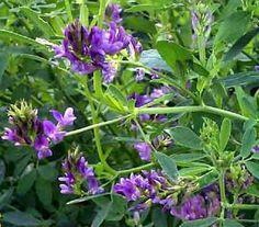 Growing alfalfa as a green manure.