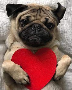 Valentine's day Doug the pug Pug Puppies, Cute Dogs And Puppies, Baby Dogs, Pug Meme, Doug The Pug, Lollapalooza, Diy Dog Gifts, Pug Valentine, Nashville