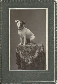 c.1900s mounted photo of Jack Russell terrier with fabulous half black/half white face. On verso, written in pencil: Carrie Price's dog. No photographer's ID. From bendale collection