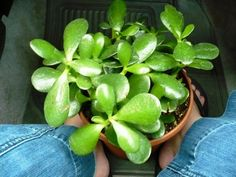 jade plant- These are supposed to create happy vibes.