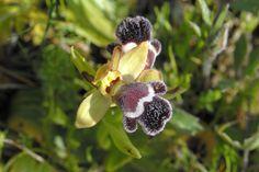 Ophrys omegaifera subsp. fleischmannii