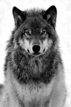 # black # white # wolf