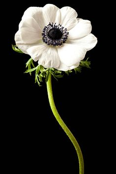 White Anemone Flower, My Flower, White Flowers, Flower Pots, Red Roses, Ranunculus, Peonies, Exotic Flowers, Beautiful Flowers