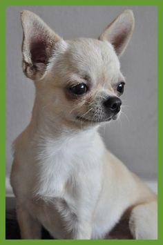 Dog Training –Training For Proper Dog Behavior White Chihuahua, Teacup Chihuahua, Chihuahua Puppies, Cute Puppies, Dogs And Puppies, Cute Dogs, Doggies, Beautiful Dogs, Animals Beautiful