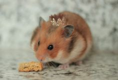 The king of the hamsters!