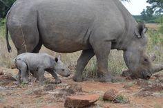 Like mother like daughter. Black rhino at Imire Rhino and Wildlife Conservation, Zimbabwe, Africa