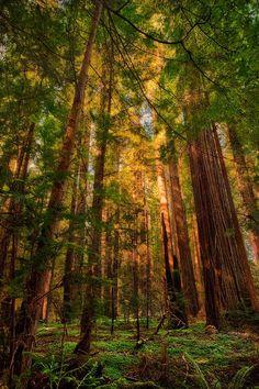 missfairyblossom: Circle Of Light - California Redwoods Gefunden auf fineartamerica.com