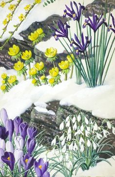 Flowers grow from beneath the winter snow, illustrated by C.F.Tunnicliffe for ladybird book 'What to look for in Winter',1959.