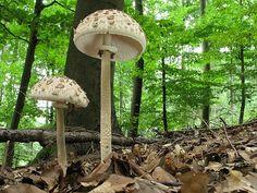 Sonnenschirm-Pilz - Macrolepiota procera Gefunden in den meisten Teilen Europas Festland und in den USA, den Sonnenschirmpilze, Macrolepiota Procera (Agaricaceae), sind in Waldlichtungen und in Grünflächen gemeinsam neben Wald, allein oder in kleinen verstreuten Gruppen wachsen.  Diese Art ist als ein gutes Speisepilz mit außergewöhnlich feinen Geschmack.  Allerdings sollten Sie nicht zu sammeln und Pilze essen, ohne einem erfahrenen Führer auf Identifikation.  Referenzen: [1] Bildnachweis…