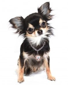:) Chihuahua