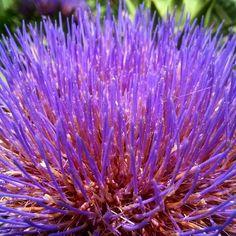 Flor de la alcachofa.