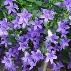 Campanula (Trailing bellflower) Australia