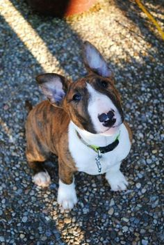 A beautifully marked English Bull Terrier Puppy, our next dog will be small & hopefully short-haired...: