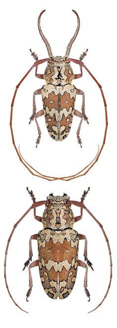 Chariesthoides bicornutus – CERAMBYCIDAE Subfamily Lamiinae