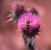 Western Desert annual flowers in rich pink under bright sun.jpg