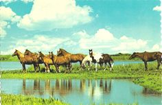 The wild east!  North Carolina's Outer Banks islands are home to these wild horses.  (Scanned postcard, date unknown.)