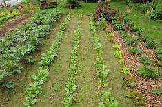 Paillis de tontes entre les pommes de terre, épinards, radis et navets, laitues, puis fraisiers avec des feuilles et brindilles broyées