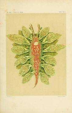pt. 1 (1877-1879) - Æolididae e famiglie affini del porto di Genova / - Biodiversity Heritage Library