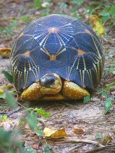 Radiated tortoise -- Madagascar -- These tortoises are critically endangered due to habitat loss, being poached for food, and being over-exploited in the pet trade. In March 2013, smugglers were arrested, carrying a single bag containing 21 radiated tortoises.