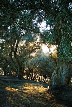 Olive tree orchard in Corfu Greece