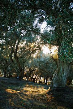 Olive tree orchard in Corfu Greece