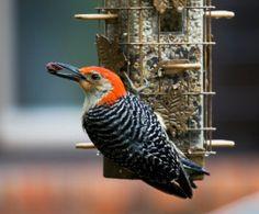 Feeding Your Backyard Birds