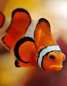 Clownfish - ©/cc Emmanuel Keller (Tambako the Jaguar) www.flickr.com/photos/tambako/4188752328/
