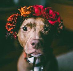 Pet / pitbull / staff brun cute