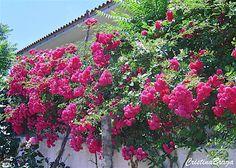 Rosa Trepadeira Backyard, Cristina, Green, Flowers, Climbing, Gardening Tips, Climbing Roses, Rose Trees, Backyards