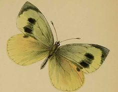 The stunning Madeiran Large White butterfly was found in the valleys of the Laurisilva forests on Portugal's Madeira Islands. The butterfly's closest relative, the Large White, is common across Europe, Africa and Asia. Source: The Daily Green Photo: A.E. Holt-White (Wikipedia Commons).