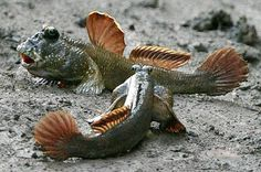 walking fish on land | Mudskippers are able to live both in water and on land.