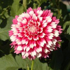 Las Dalias y sus preciosos colores