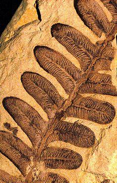Fern #fossil