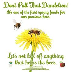 Dandelions are a great food source for honey bees, especially in the spring. Leave the dandelions and SAVE THE BEES! Bee Food, Raising Bees, Mason Bees, I Love Bees, Bee Friendly, Save The Bees, Busy Bee, Bee Happy, Bees Knees