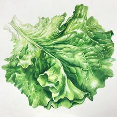 HY 기초디자인 개체묘사 자연물 상추 Watercolor Fruit, Watercolor Leaves, Botanical Drawings, Botanical Art, Fruits Drawing, Food Painting, Korean Art, Ap Art, Fruit Art