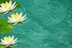 water lily pictures | Flowers: Asian Water Lilies and Lotus Flowers