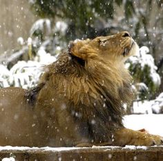 Lion watching snow fall