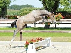 Young horse jumping with a reserve)