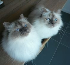 Our two cats, Mila & Nano -  Sacred Birmans lilac point