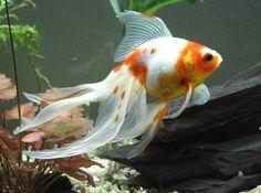 Oranda Goldfish Colors | the veiltail goldfish has three scale types metallic solid reddish