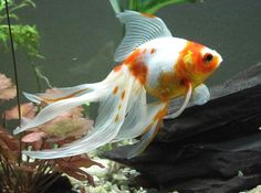 Oranda Goldfish Colors | the veiltail goldfish has three scale types metallic solid reddish
