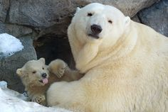 Baby Polar Bears in Moscow Zoo: First Steps With Mom