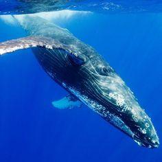 Alimentación de la ballena azul #animales #marinos #ballena #azul