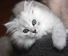Ragamuffin kitten- this is my kitty except he is black
