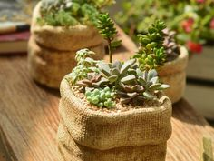 Tips for Growing Succulents Indoors: While succulents can also be placed outdoors during the growing season, keep them indoors in a bright, sunny location... #succulentopedia #succulents #CactiAndSucculents #WorldOfSucculents #SucculentLove #succulent #SucculentPlant #SucculentPlants #succulentmania #SucculentLover #SucculentObsession #SucculentCollection #plant #plants #SucculentGarden #garden #desertplants #nature #SucculentCare #GrowingSucculents #gardening #GardeningTips