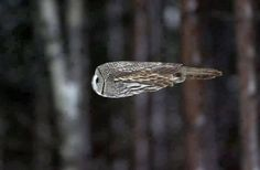 It's a missle, it's a plane, nooooo it's an owl in flight
