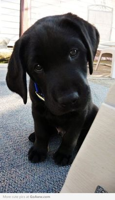Beautiful black lab puppy