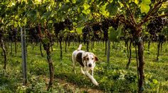 10 Dog-Friendly Wineries in Virginia and Maryland - Eater DC