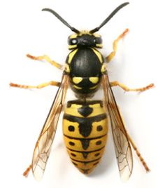 108 Best Bees,Wasps and Hover-...