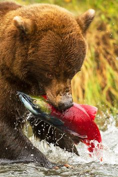grizzly bear  salmon fish stephen oachs